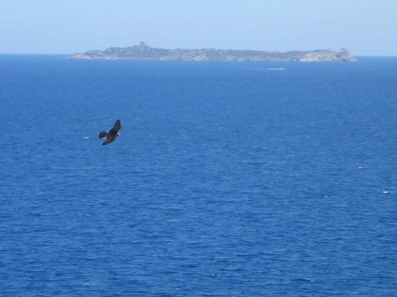 Falco pellegrino in caccia