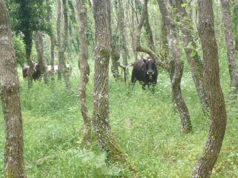 Bovini di razza sarda nel bosco