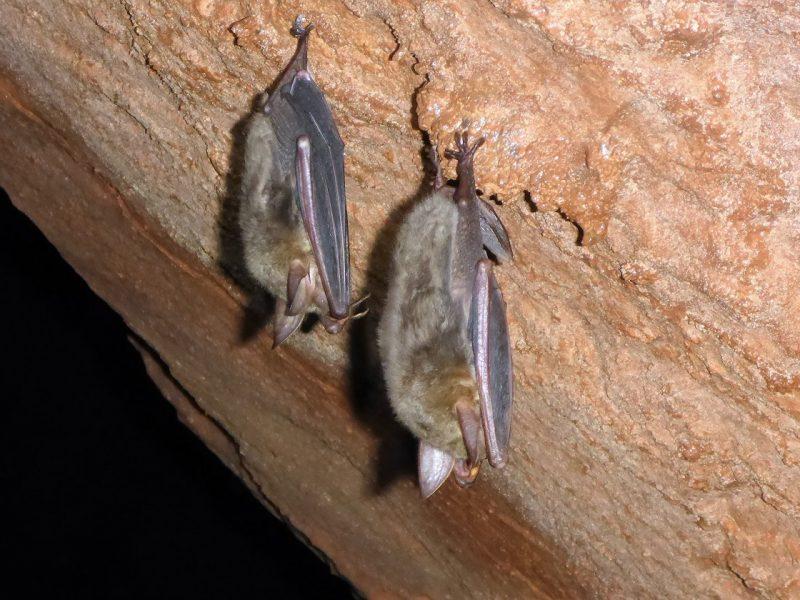 L'ibernazione è una delle fasi del ciclo vitale del pipistrello e gli permette di superare l'inverno durante il quale, altrimenti, morirebbe di freddo e fame
