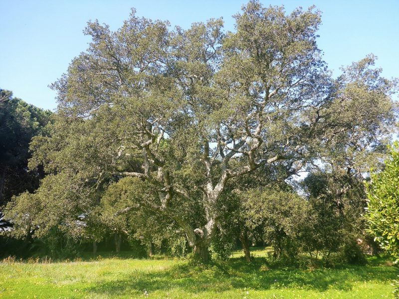 Quercus suber - foto Marco Marrosu