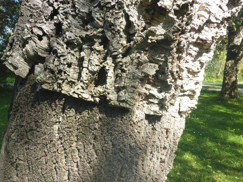Il sughero della Quercus suber - foto Marco Marrosu