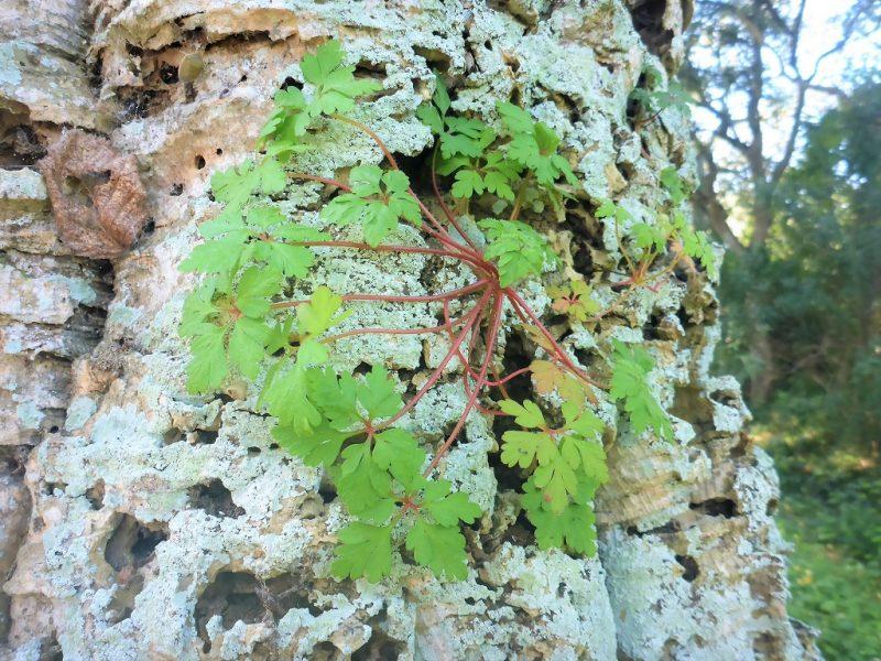 Biodiversità, Geranium robertianum sulla corteccia - foto Marco Marrosu